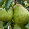 Picture of Pear Dble William Bon Chretien/Winter Cole