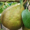 Picture of Pear Winter Cole Dwf