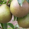 Picture of Pear Winter Nelis Dwf