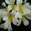 Picture of Clivia Moon Glow