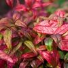 Picture of Nandina Pygmaea
