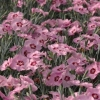 Picture of Dianthus Angel of Enlightenment