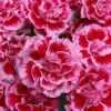 Picture of Dianthus Angel of Harmony