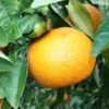 Picture of Grapefruit Morrison Seedless