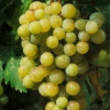 Picture of Grape Early Muscat