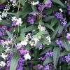 Picture of Hardenbergia Violacea