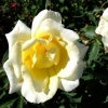 Picture of The Chelsea Rose Clg-Rose