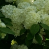 Picture of Viburnum Newport