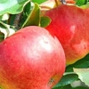 Picture of Apple Splendour MM106