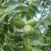Picture of Pecan Carya Colby