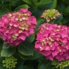 Picture of Hydrangea Altona