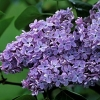 Picture of Syringa Condorcet