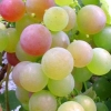 Picture of Grape Iona