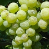 Picture of Grape Autumn Muscat