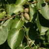 Picture of Alnus Cordata