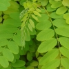 Picture of Gleditsia Limelight
