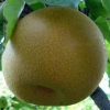 Picture of Pear Dble Nashi Kosui/Hosui
