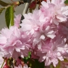 Picture of Prunus Kiku Shidare Sakura H/W 1.8m