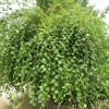 Picture of Betula Summer Cascade