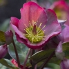 Picture of Helleborus Pennys Pink