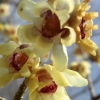 Picture of Chimonanthus Praecox