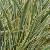 Picture of Phormium Golden Ray