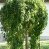 Picture of Sophora Japonica Pendula