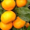 Picture of Mandarin Silverhill Dwarf