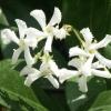 Picture of Trachelospermum Jasminoides
