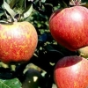 Picture of Apple Kidds Orange Red M27
