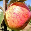 Picture of Apple Peasgood Nonsuch M9