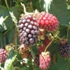 Picture of Boysenberry Mapua