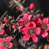 Picture of Leptospermum Wiri Donna