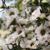 Picture of Leptospermum Princess Anne