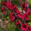 Picture of Leptospermum Red Damask