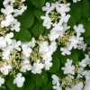 Picture of Viburnum Lanarth