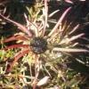 Picture of Leucadendron Incisum