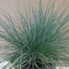 Picture of Festuca Banks Peninsula Blue