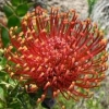 Picture of Leucospermum Fire Fly