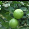 Picture of Lime Sublime