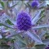 Picture of Eryngium Blue Hobbit