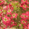 Picture of Leptospermum Outrageous