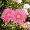 Picture of Mesembryanthemum Cerise