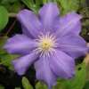 Picture of Clematis Mrs P B Truax