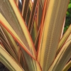 Picture of Phormium Alison Blackman