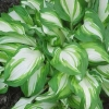 Picture of Hosta Undulata