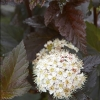 Picture of Physocarpus Shady Lady