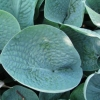 Picture of Hosta Abiqua Drinking Gourd