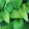 Picture of Hosta Gold Standard