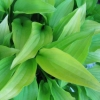 Picture of Hosta Lemon and Lime